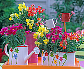 Antirrhinum in jardiniere and watering cans on orange tray