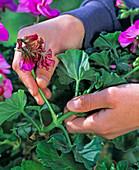 Breaking of faded Pelargonium (geranium) inflorescences