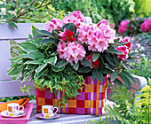 Rhododendron, Hosta, Hedera in wicker basket in red tones