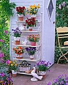 Viola cornuta, yellow, red, orange, blue, in shelf