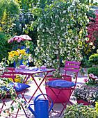 Malus 'Red Jade' in pink tub, Viola