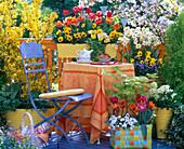 Tulipa (Tulpen), Viola (Stiefmütterchen), Forsythia (Forsythie), Acer