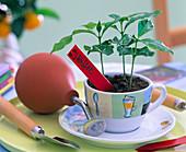 Coffea arabica in coffee cup, spray balloon, small shovel