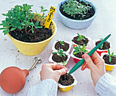 Pour Tagetes (marigold) seedlings with a spatula