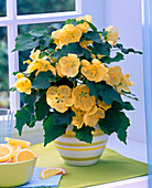Yellow Abutilon (abutilon) in a striped pot on the window