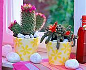 Cactuses on the windowsill, Mammillaria zeilmanniana