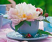 Paeonia (peony, cream) blossom in light blue cup