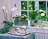Shin Yong Metal: Phalaenopsis, Ficus pumila 'Sunny'