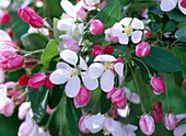 Flowers of Malus floribunda (ornamental apple)