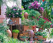 Pelargonium (scented geranium) in hand-made pottery