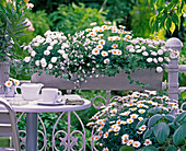 White planted balcony box, Argyranthemum, Lobelia