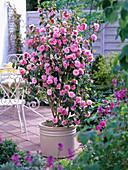 Camellia 'Spring Festival' (camellia) in beige tub