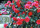 Camellia 'Flame' (camellia)