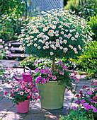Argyranthemum frutescens 'Stella 2000' 'Daisy Crazy Strawberry Pink'
