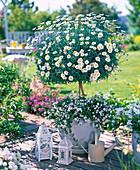 White terrace, Argyranthemum 'Stella 2000' (marguerite)