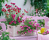 Dianthus Dynasty (carnation), Calibrachoa Celebration