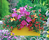 Petunia 'Salmon Wave' (Petunia), Calibrachoa Celebration 'Fire'