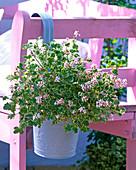 Pelargonium fragans 'Variegatum' (Scented Geranium)