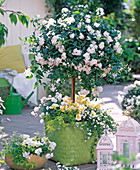 Solanum jasminoides stems underplanted