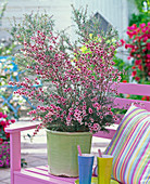 Leptospermum scoparium (New Zealand myrtle) on pink wooden bench