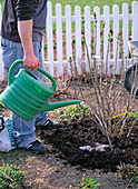Young man planting lilac bush