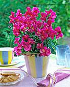 Pink Antirrhinum (Snapdragon) in the stripped pot