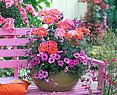 Pink 'Duchess Friederike' (Noack's Shrub rose) in bowl