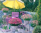 Daisies balcony, Argyranthemum Daisy Crazy (pink marguerite)