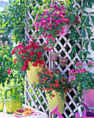 Calibrachoa, Petunia, Pelargonium in hanging pots on trellis