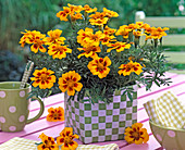 Tagetes patula (marigold) in checkered wicker basket