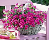 Calibrachoa Celebration 'Bright pink'