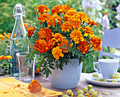 Tagetes (marigold) in a light blue planter
