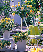 High-stem rose under-planted Rosa 'Sunlight Romantica'