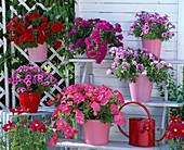Petunia Easy Wave 'Pink', Sylvana Double 'Alice', 'Purple'