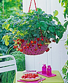 Fragaria (strawberry) in pink plastic basket lamp
