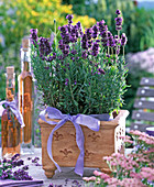 Lavandula 'Hidcote Blue' in a square terracotta pot
