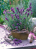 Lavandula 'Hidcote Blue' in metal sheet jardiniere and cut on table