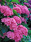 Hydrangea macrophylla 'Beautiful Baitnerin' (Hydrangea)