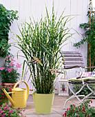 Miscanthus sinensis 'Zebrinus' (porcupine grass)