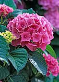 Hydrangea 'Beautiful Worker' (Hydrangea)