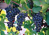 Vitis 'Blauer Portugieser' (Grape)