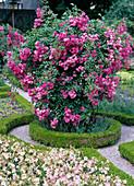 Climbing rose in buxus circular flowerbed photographed in Hofgarten Freising