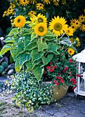 Yellow bowl with Helianthus (sunflower), Calibrachoa