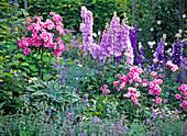Pink 'Medley Pink' (nocturnal rose), stem and bush