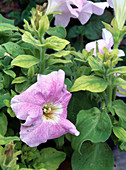 Petunia (petunia) with iron deficiency (chlorosis)