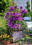 Plant clematis in wooden tubs