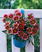 Gazania (midday gold) in the blue hanging pot on the balcony railing