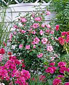 Pink bedding, Hibiscus syriacus 'Woodbridge'