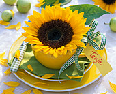 Helianthus annuus blossoms in yellow cup, name tag