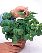 Harvest of herbs in pot, whole leaves of Ocimum (basil)